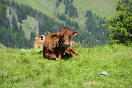 hochalm serviced alm pasture cow beef