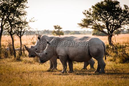 afrika rhinozeros nashorn
