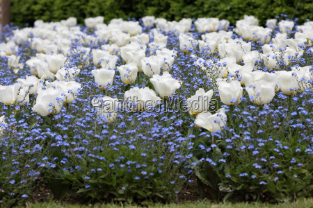 tulips and myosotis