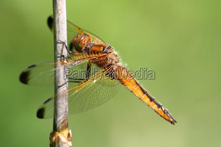 vierfleck libellula quadrimaculata