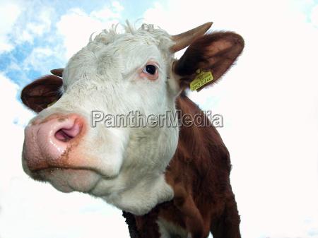 head skull cow cows cattle farm
