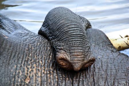 lumb des indischen elefant im lager