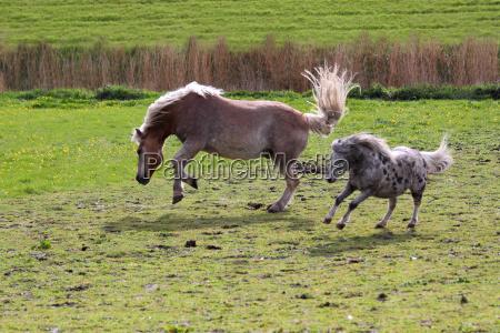 bucky ponies