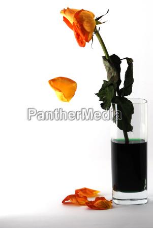 rose verliert bluetenblatt