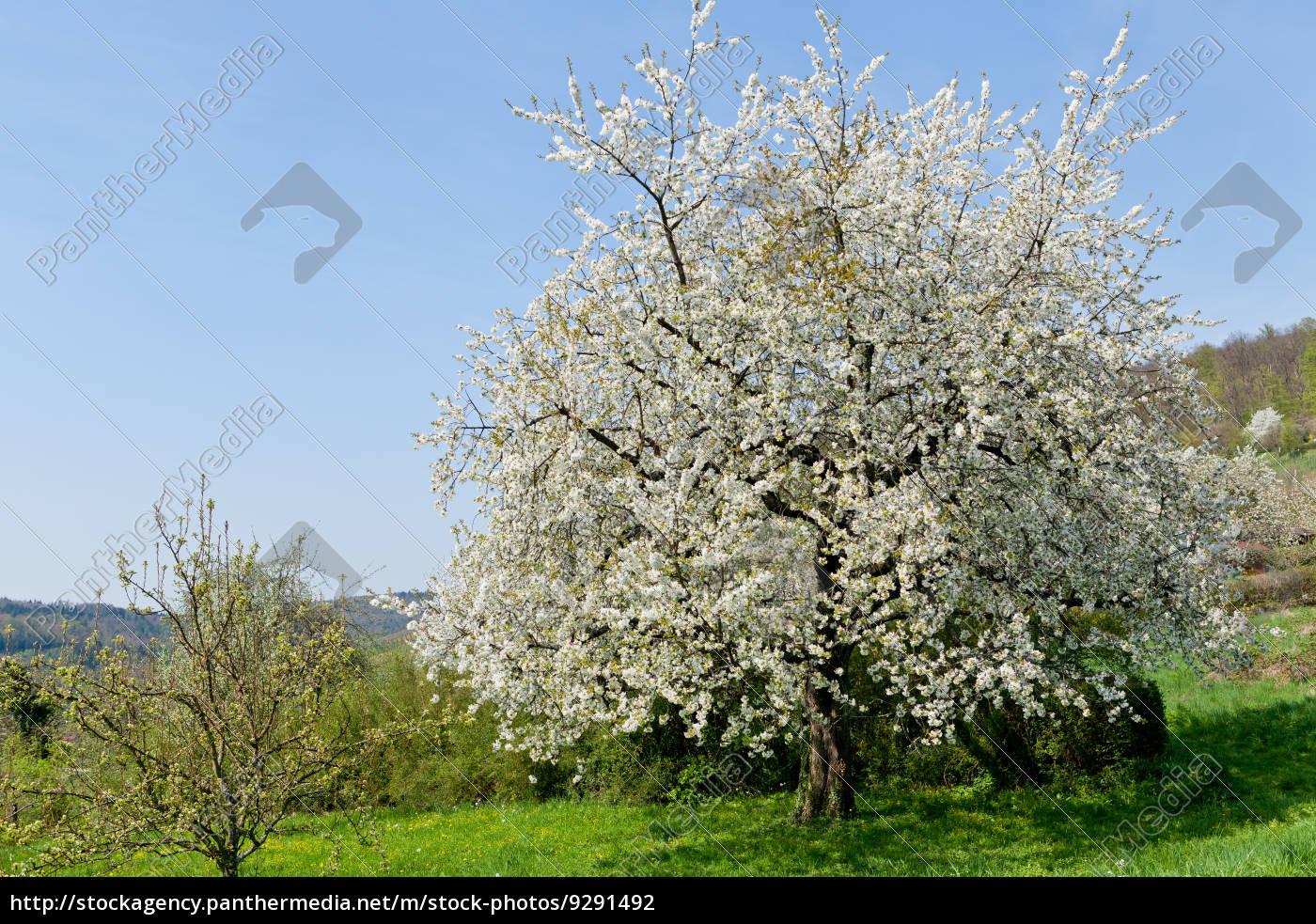 baum obstbaum kirschbaum mit wei en bl ten auf einer lizenzfreies foto 9291492