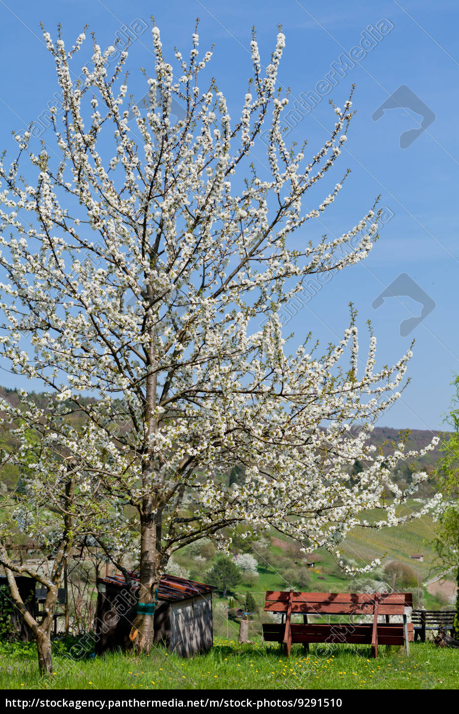 baum obstbaum kirschbaum mit wei en bl ten auf einer stockfoto 9291510 bildagentur. Black Bedroom Furniture Sets. Home Design Ideas