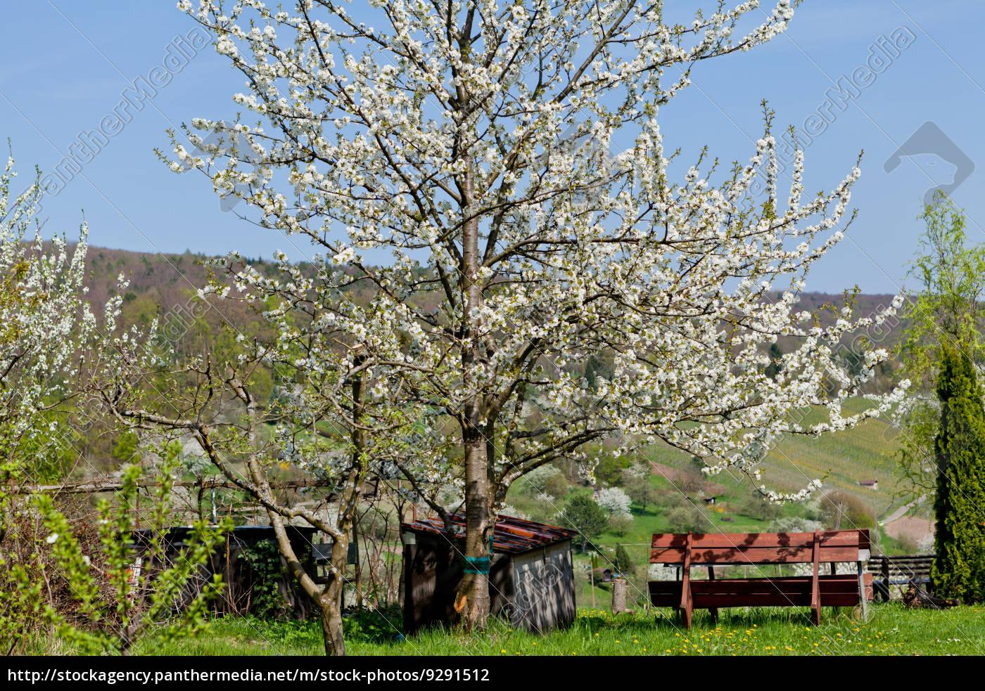 baum obstbaum kirschbaum mit wei en bl ten auf einer lizenzfreies foto 9291512. Black Bedroom Furniture Sets. Home Design Ideas