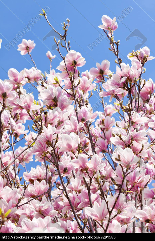 magnolien baum mit rosa bl ten im fr hling mit stock. Black Bedroom Furniture Sets. Home Design Ideas