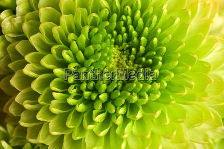 makroaufnahme chrysanthemen