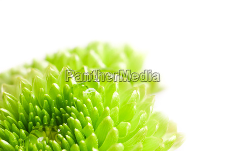 makroaufnahme chrysantheme