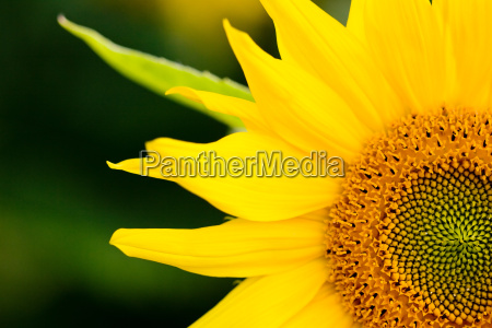 sunflower makro
