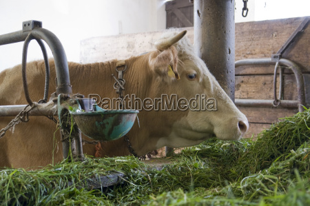 cow inside of a cow barn