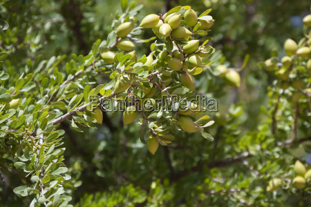 argan nuts on argan tree argania