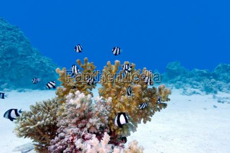 korallenriff mit hartkorallen und exotischen fischen