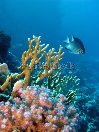 korallenriff mit exotischen fischen und damselfish