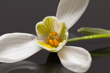 single flower of snowdrop isolated on