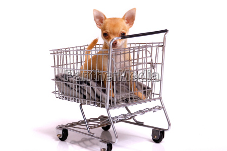 chihuahua puppy in shopping cart