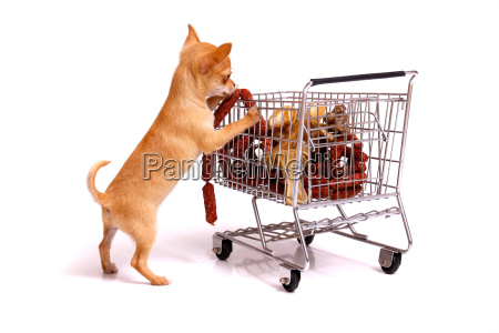 chihuahua puppy while shopping