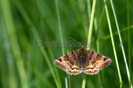 braune tageule euclidia glyphica