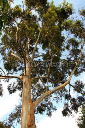 tall peeling bark tree in uganda