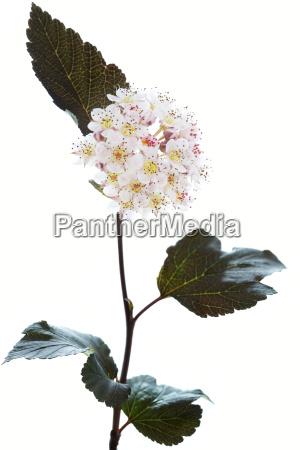 bluehender teufelsstrauch physocarpus opulifolius