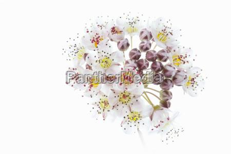 flowering devils shrub physocarpus opulifolius