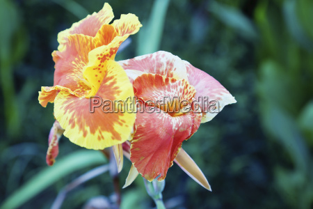 multi colored tropical hibiscus yellow red