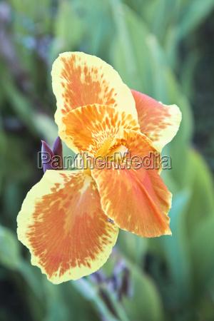 multi colored hibiscus a portrait