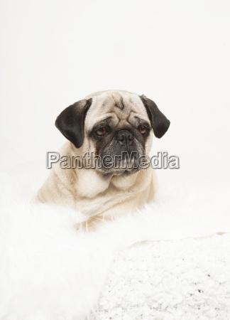 pug portrait white blanket