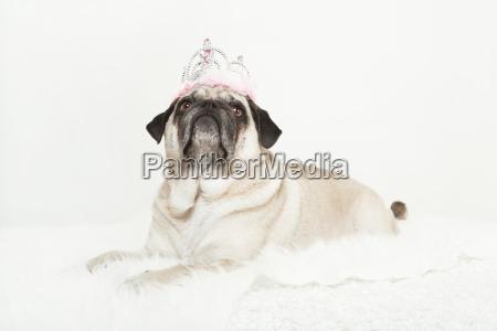 pug princess crown white lying
