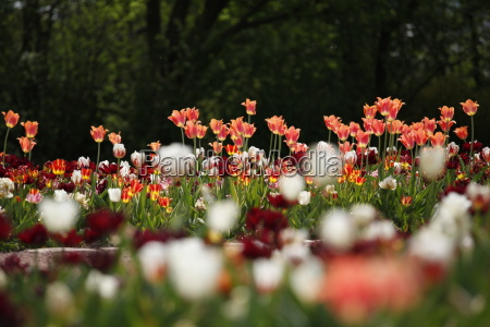 flower flowers plant tulips tulip blurred