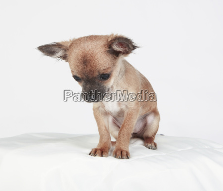 chihuahua is sitting looking down