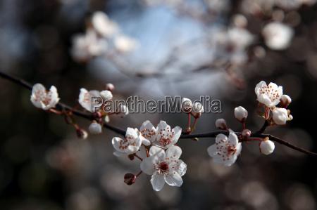 ast quer kirschbluete fruehlingsbote
