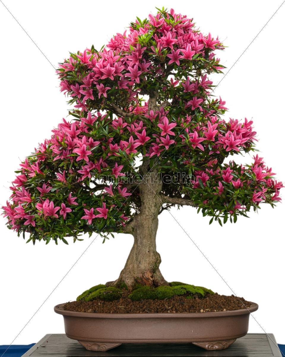 bl hender azaleen bonsai baum mit rosa bl ten. Black Bedroom Furniture Sets. Home Design Ideas