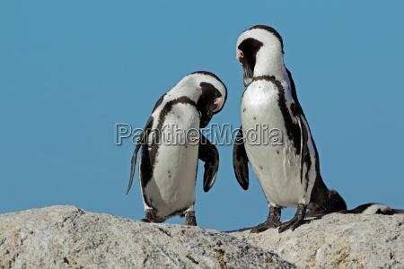 vogel strand pinguin wildlife afrikanerin afrikaner