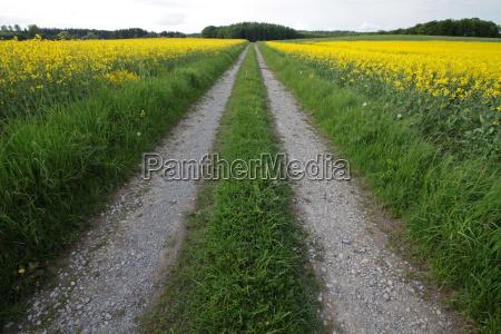 path through rape fields