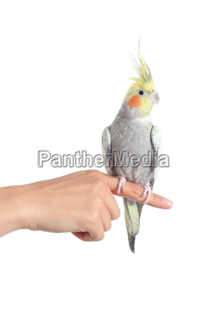 woman hand holding a cockatiel parrot