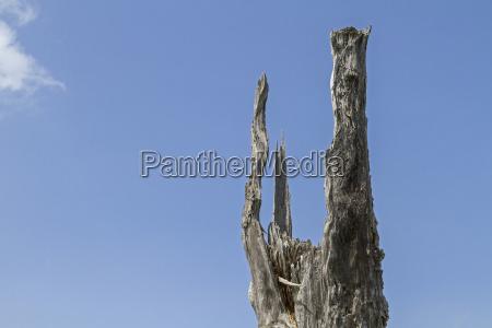 tree fir abstract snag baumsterben totholz