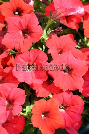 petunia flowers in red