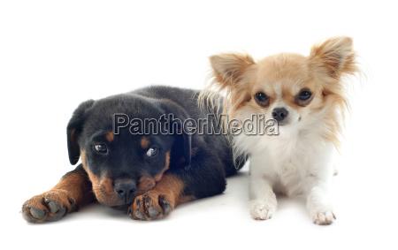 chihuahua und welpe rottweiler