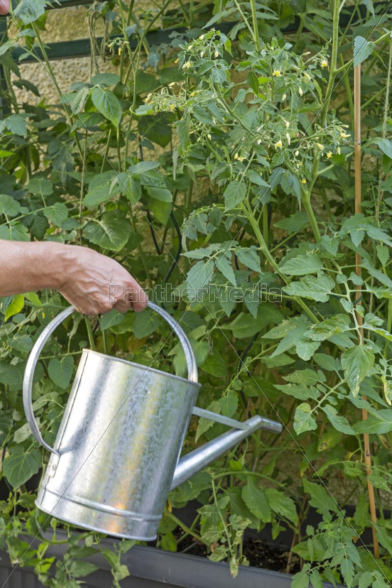 blühende, tomatenpflanzen, gießen - 9640678