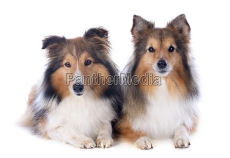 shetland hunde