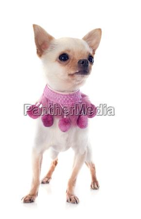 eleganz hund welpe kragen eleganze kummet