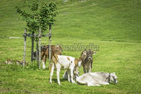 young calves in meadow