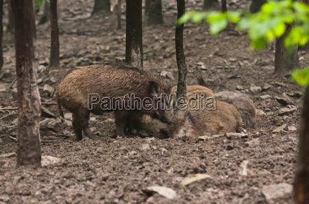 wildschwein familie in ihrer natuerlichen umgebung