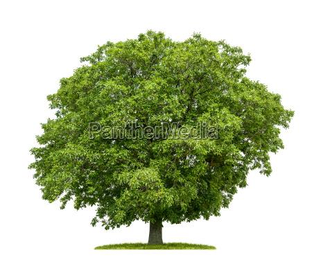 freigestellter walnussbaum vor weissem hintergrund