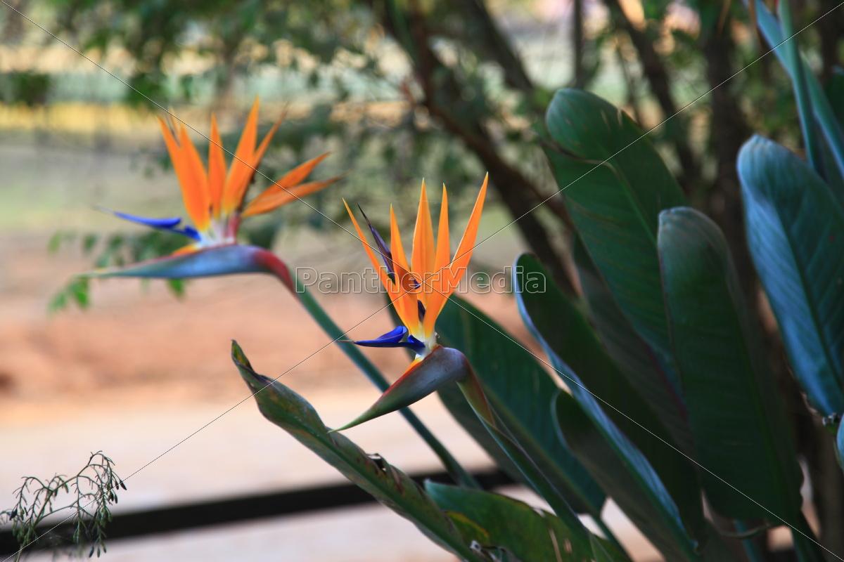 Blume, blau, Ingwer, Ingwergewächs, Königsstrelitzie, orange - 9656676