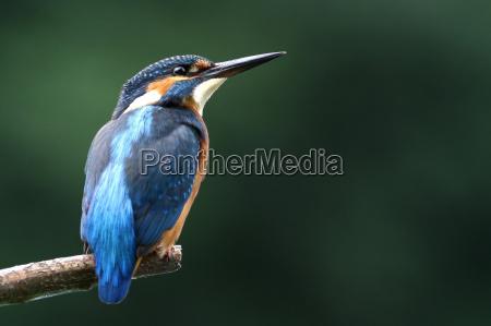 kingfisher 2013
