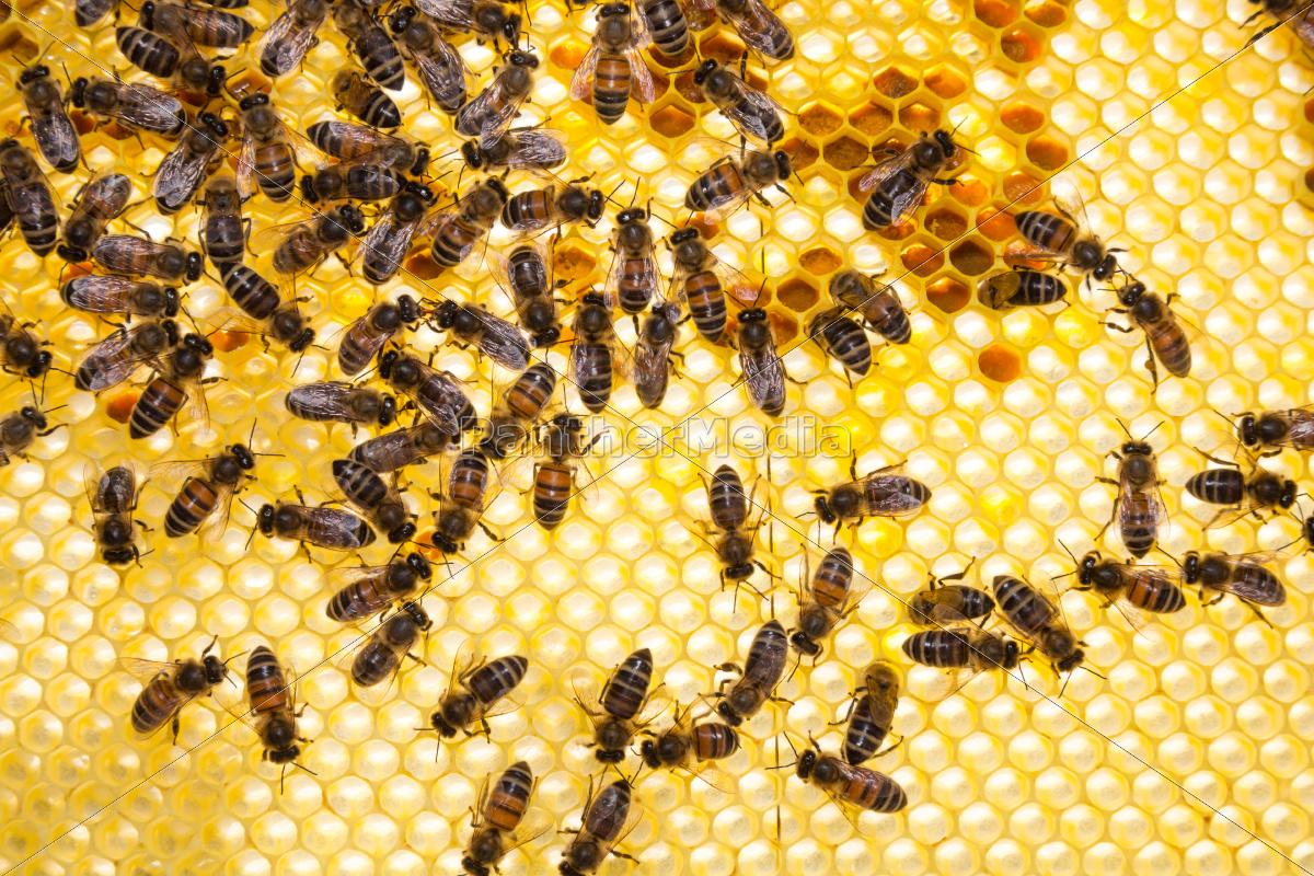 Bienenstock Hd