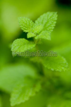 fresh green healthy mint lemon balm